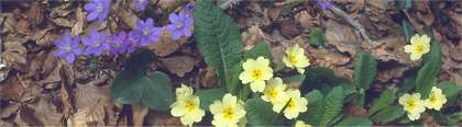 Erba Trinit� (Hepatica Nobilis) - Primula comune (Primula Vulgaris)  (foto di Fabrizio Cicio)